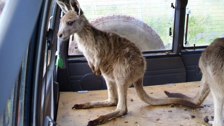 Kangaroo_8-_(c)Frank Kleemann